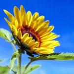 sunflower-1536088_1920