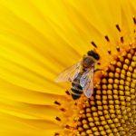 sunflower-1643794_1920[4410]