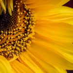 sunflower-4415802_1920